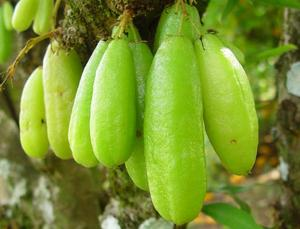 Bilimbi fruits