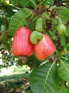 Noix de Cajou - Anacardium Pomme_et_noix_de_cajou_large