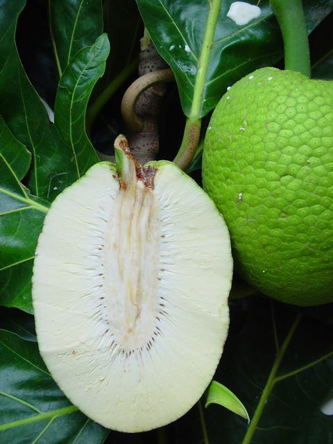 fruit pain artocarpus altilis pictures. Black Bedroom Furniture Sets. Home Design Ideas
