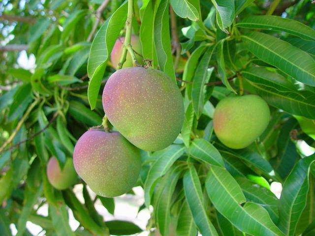 caribfruits mangue fruits tropicaux. Black Bedroom Furniture Sets. Home Design Ideas