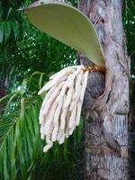 Inflorescence (//Bactris gasipaes//)