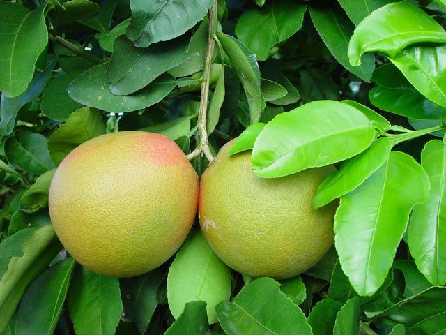Caribfruits pom lo fruits tropicaux - Pamplemousse amer ou acide ...