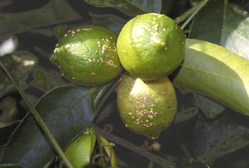 Caribfruits scab protection raisonn e des vergers maladies ravageurs et auxiliaires - La mineuse des agrumes ...