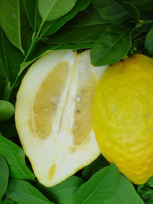 Caribfruits agrumes les cultures conduite de son verger production fruiti re int gr e - La mineuse des agrumes ...