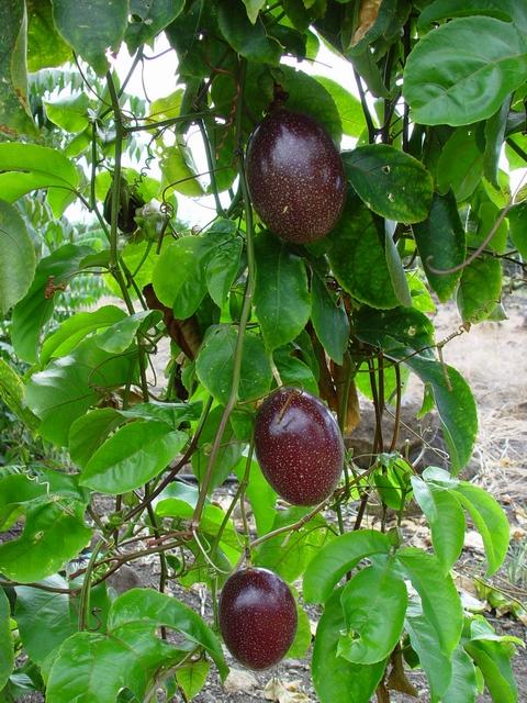 Caribfruits Maracuja Les Cultures Conduite De Son Verger