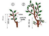 Caribfruits la taille des arbres fruitiers fiches - La taille des arbres fruitiers ...